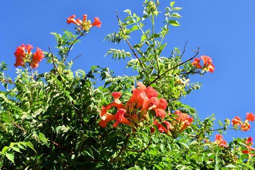 능소화 꽃 오렌지