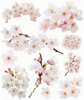 Set of cherry blossoms (PSD with background transmission, clipping path included)
