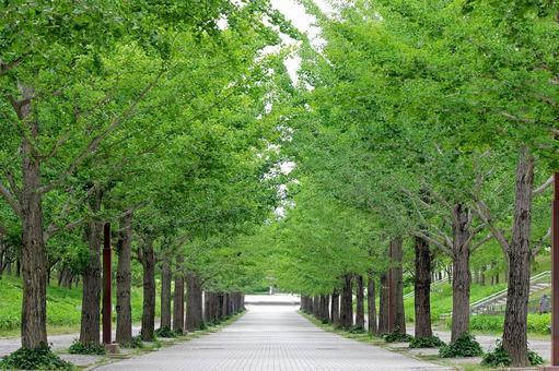 은행 나무 가로수 _ 여름