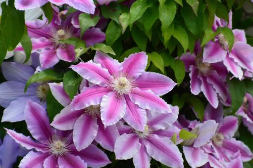 Stunning clematis in full bloom