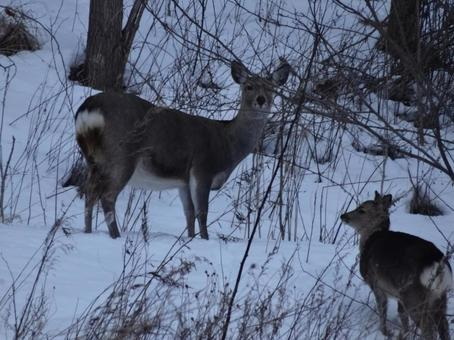 겨울 에조 사슴 1