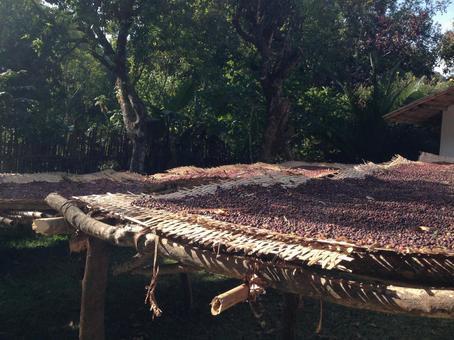 Sun-dried coffee cherries