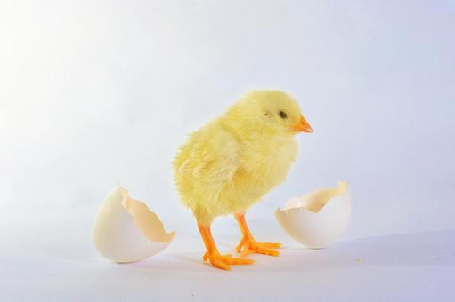 흰색 배경 달걀 껍질과 병아리 6