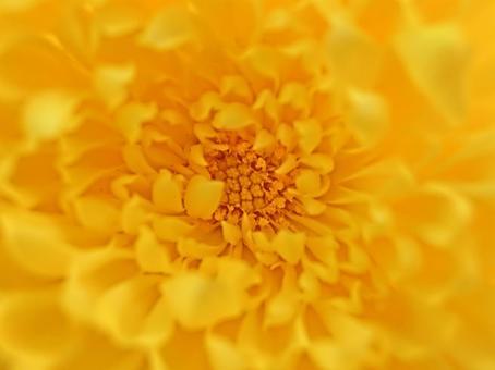 Yellow edible chrysanthemum 27