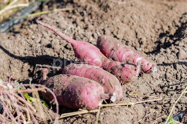 サツマイモを収穫する様子の写真