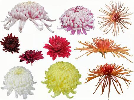 Chrysanthemum Summary 2 PSD