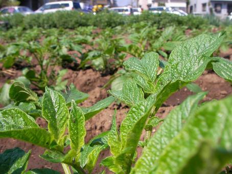 [Field] Potato cultivation Home garden Spring Vegetables Nature