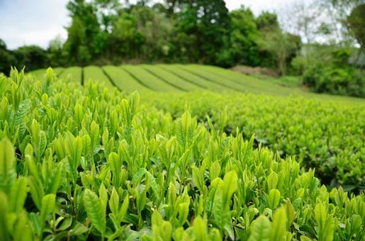 Tea plantation 3 in Harmony