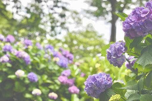 Landscape with purple hydrangea hydrangea background