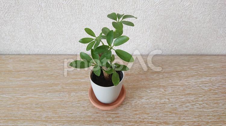 ミニ観葉植物 カポックの写真