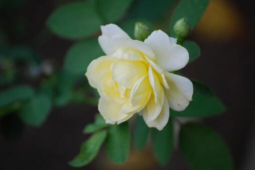 노란 장미 2