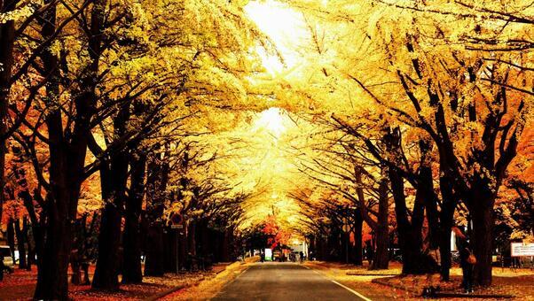 Late autumn ginkgo aki