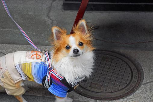 Chihuahua looks at