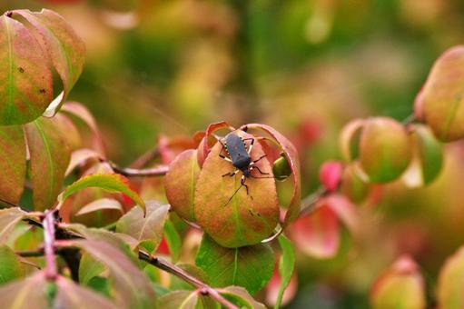 Autumn leaves and stink bug 5 Kibara helicopter stink bug