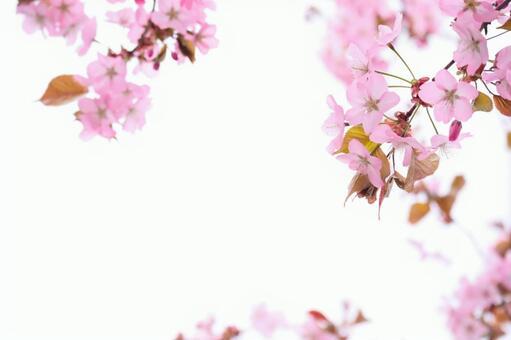 Event Sakura Flower Spring Frame