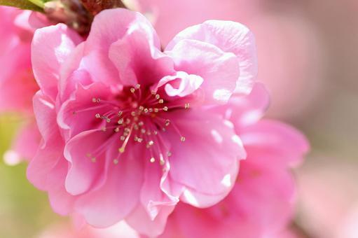 Flower Peach 01