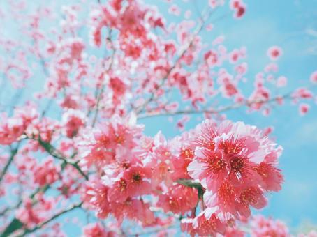 진한 분홍색 벚꽃 (주홍)
