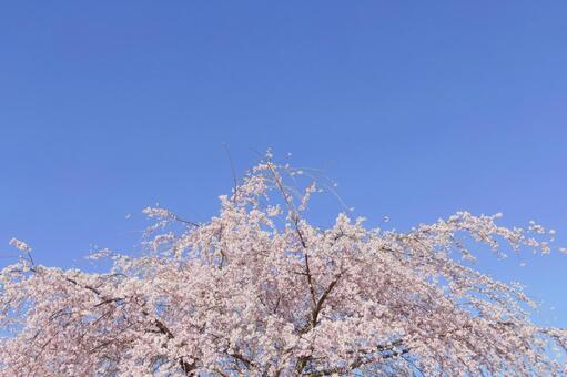 Weeping cherry, full bloom 2