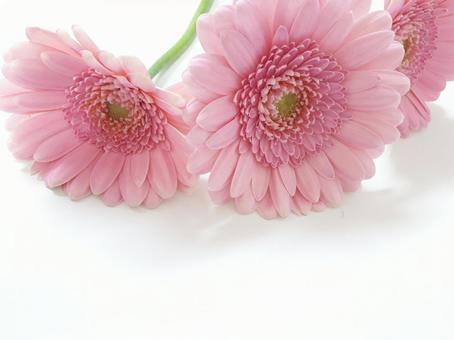 거베라 핑크 선물