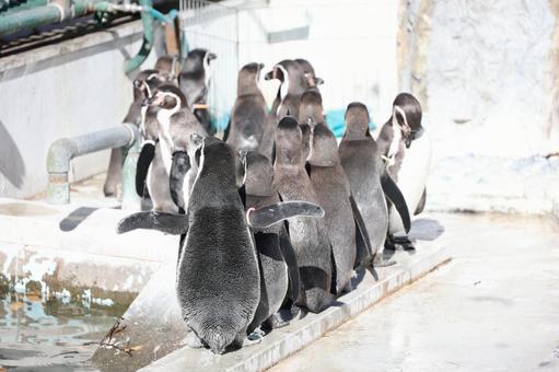 Penguins procession