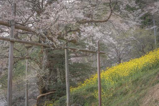 고치 현 바가지 벚꽃