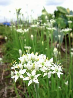 Chinese chive flower white flower field kitchen garden