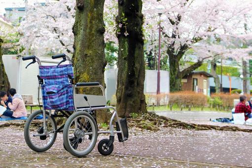 Wheelchair and cherry blossom walk