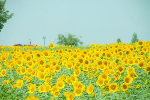 Sunflower field 92