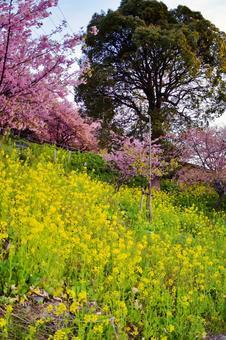 Rape blossoms and cherry blossom trails