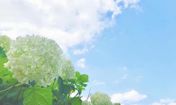Hydrangea blooming toward the sky Background Hydrangea Annabel 2