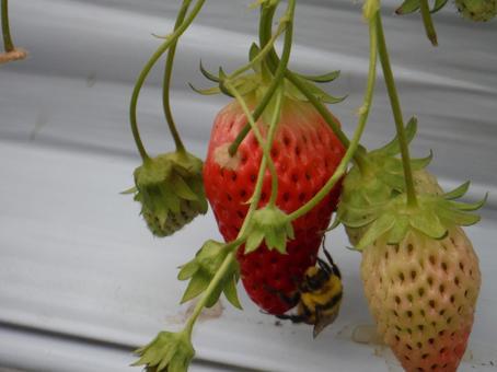 딸기와 벌