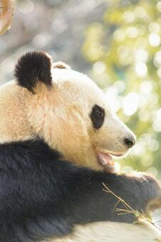 Giant panda with profile