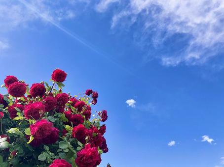 盛開的玫瑰,藍天,光和雲