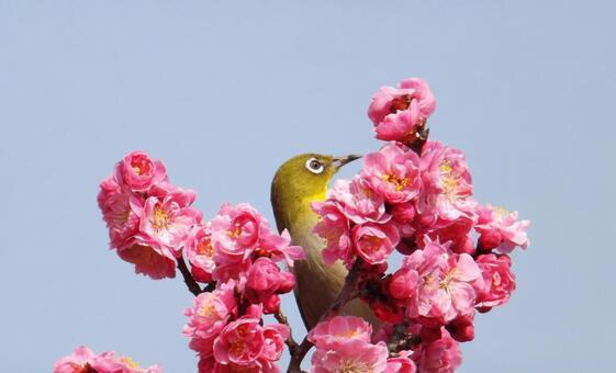매화의 꽃과 귀여운 동박새 -2_Plum blossoms and cute birds