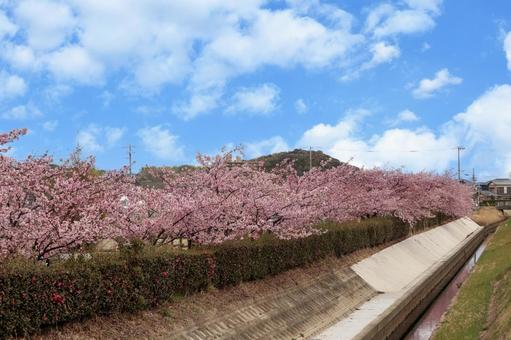 푸른 하늘과 카와 벚꽃