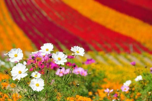코스모스와 꽃밭