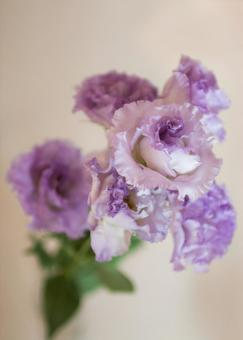 Eustoma grandiflorum #2