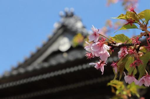 Kamakura, Hongakuji Temple, Main Hall, Sakura