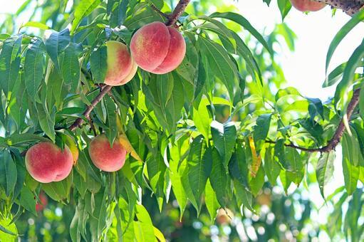 Fukushima peach 2021_01