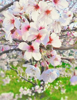 Sakura Feast