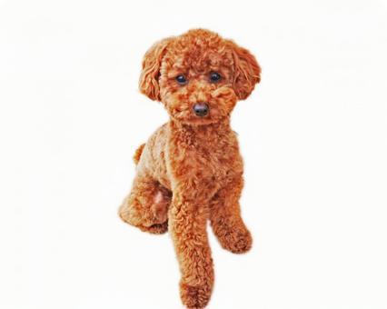 Toy poodle whole body · White background