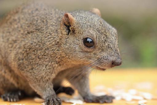 Thai One Squirrel 16