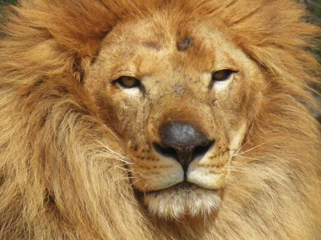 Lion front face
