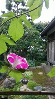 Morning glory under the eaves
