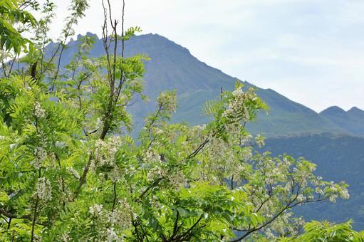 아까시 나무의 꽃