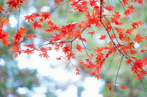 Shine of autumn leaves