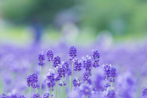 高原上盛開的薰衣草