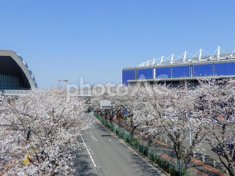 調布 スタジアム通りの桜並木の写真