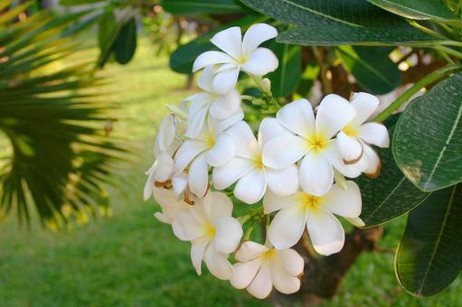 Cambodian Plumeria
