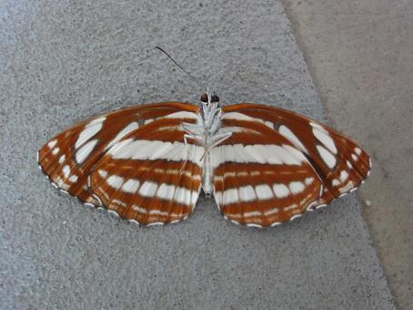 蛾の翅の内側